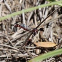 Pseudofoenus sp. (genus) (Unidentified bee-parasite wasp, Burrowing bee parasite) at Namadgi National Park - 10 Feb 2019 by HarveyPerkins