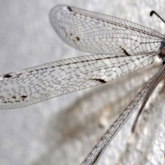 Bandidus canifrons (An Antlion Lacewing) at Ainslie, ACT - 12 Feb 2019 by jbromilow50