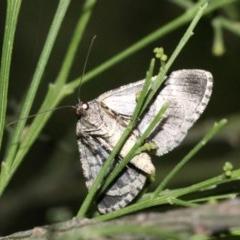 Lipogya exprimataria (Jagged Bark Moth) at Mount Ainslie - 11 Feb 2019 by jbromilow50