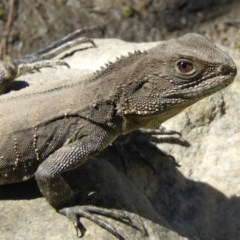 Intellagama lesueurii howittii (Gippsland Water Dragon) at Tennent, ACT - 13 Feb 2019 by Christine