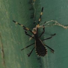 Amorbus sp. (genus) (Tip bug) at Tidbinbilla Nature Reserve - 13 Feb 2019 by Christine