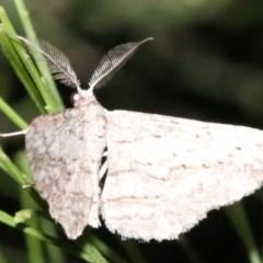 Phelotis cognata (Long-fringed Bark Moth) at Mount Ainslie - 11 Feb 2019 by jbromilow50