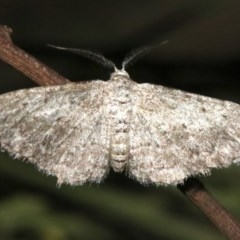 Phelotis cognata (Long-fringed Bark Moth) at Ainslie, ACT - 11 Feb 2019 by jbromilow50