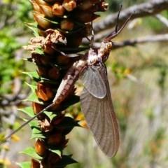 Ephemeroptera sp. (order) (Unidentified Mayfly) at Gibraltar Pines - 10 Feb 2019 by HarveyPerkins