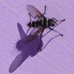 Trigonospila sp. (genus) (A Bristle Fly) at Gibraltar Pines - 10 Feb 2019 by HarveyPerkins