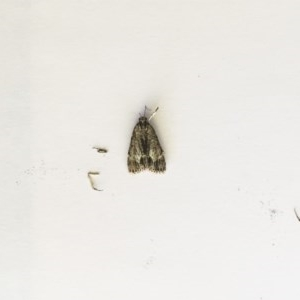 Spectrotrota fimbrialis at Hughes Garran Woodland - 14 Feb 2019