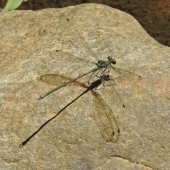 Austroargiolestes icteromelas (Common Flatwing) at Paddys River, ACT - 13 Feb 2019 by RodDeb
