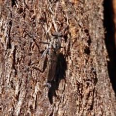 Cerdistus sp. (genus) (Robber fly) at Tidbinbilla Nature Reserve - 13 Feb 2019 by RodDeb