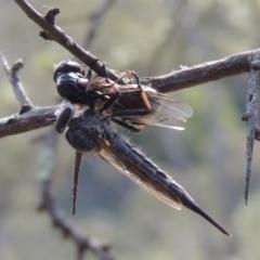 Cerdistus sp. (genus) (Robber fly) at Conder, ACT - 12 Jan 2019 by michaelb