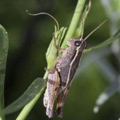 Phaulacridium vittatum (Wingless Grasshopper) at Higgins, ACT - 14 Feb 2019 by AlisonMilton