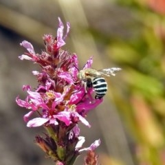 Amegilla sp. (genus) (Blue Banded Bee) at ANBG - 15 Feb 2019 by RodDeb