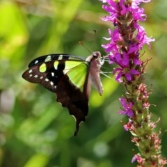 Graphium macleayanum (Macleay's Swallowtail) at ANBG - 15 Feb 2019 by RodDeb