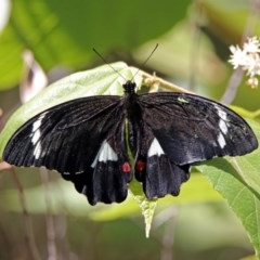 Papilio aegeus (Orchard Swallowtail) at ANBG - 15 Feb 2019 by RodDeb
