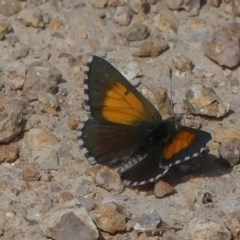 Lucia limbaria (Chequered Copper) at Mcquoids Hill - 14 Feb 2019 by SandraH