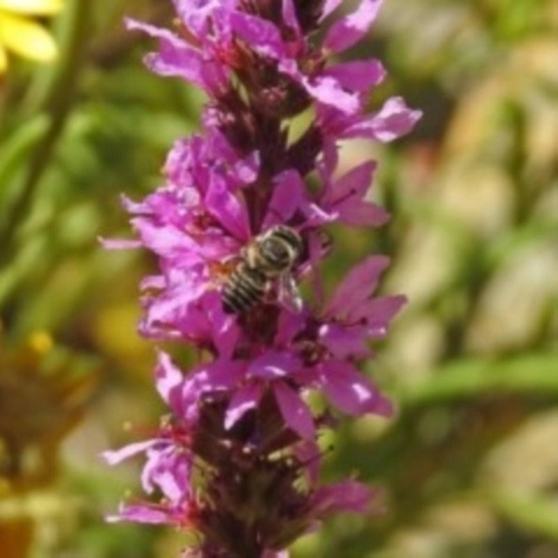 Megachile (Eutricharaea) sp. (subgenus) at ANBG - 15 Feb 2019