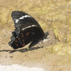 Papilio aegeus (Orchard Swallowtail) at Umbagong District Park - 15 Feb 2019 by AlisonMilton