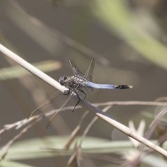 Orthetrum caledonicum (Blue Skimmer) at Umbagong District Park - 15 Feb 2019 by AlisonMilton