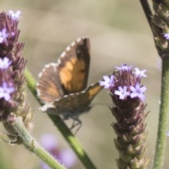 Lucia limbaria (Chequered Copper) at Umbagong District Park - 15 Feb 2019 by Alison Milton