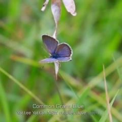 Zizina otis labradus (Common Grass-blue) at Yatte Yattah, NSW - 7 Feb 2019 by Charles Dove