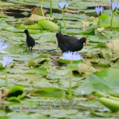 Gallinula tenebrosa (Dusky Moorhen) at Wairo Beach and Dolphin Point - 9 Feb 2019 by CharlesDove