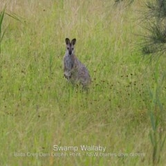 Macropus rufogriseus (Red-necked Wallaby) at Wairo Beach and Dolphin Point - 9 Feb 2019 by Charles Dove