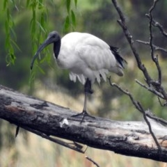 Threskiornis molucca (Australian White Ibis) at Jerrabomberra Wetlands - 16 Feb 2019 by RodDeb