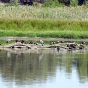Spatula rhynchotis at Jerrabomberra Wetlands - 16 Feb 2019