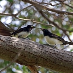 Rhipidura leucophrys (Willie Wagtail) at Jerrabomberra Wetlands - 15 Feb 2019 by RodDeb