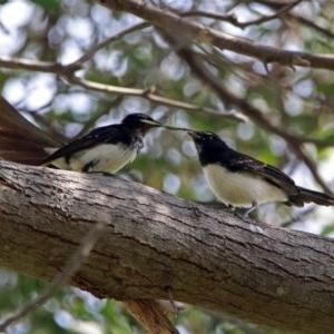 Rhipidura leucophrys at Jerrabomberra Wetlands - 16 Feb 2019