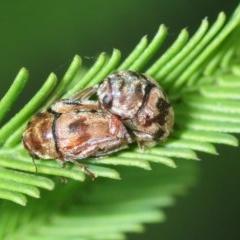 Ditropidus sp. (genus) (Leaf beetle) at Black Mountain - 16 Feb 2019 by Harrisi
