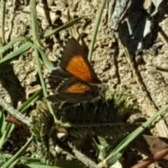 Lucia limbaria (Chequered Copper) at Mount Mugga Mugga - 16 Feb 2019 by Mike