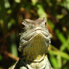 Intellagama lesueurii (Eastern Water Dragon) at ANBG - 11 Feb 2019 by MatthewFrawley