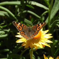 Junonia villida (Meadow Argus) at ANBG - 11 Feb 2019 by MatthewFrawley