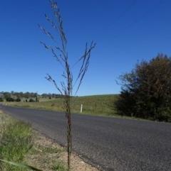 Eragrostis pilosa (Soft Lovegrass, Indian lovegrass) at Maffra, NSW - 12 Feb 2019 by JackieMiles
