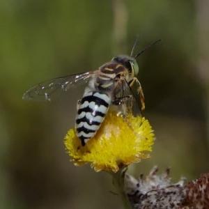 Bembix sp. (genus) at ANBG - 13 Feb 2019