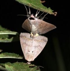 Pantydia capistrata (An Erebid moth) at Rosedale, NSW - 14 Feb 2019 by jbromilow50