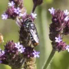 Megachile (Hackeriapis) oblonga (A Megachild bee) at Umbagong District Park - 15 Feb 2019 by Alison Milton