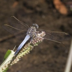 Orthetrum caledonicum (Blue Skimmer) at Umbagong District Park - 17 Feb 2019 by Alison Milton