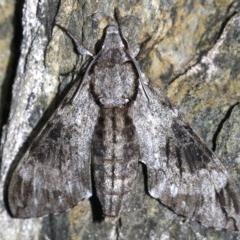 Psilogramma casuarinae (Privet Hawk Moth) at Rosedale, NSW - 14 Feb 2019 by jbromilow50