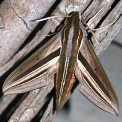 Theretra oldenlandiae (Impatiens Hawk Moth) at Rosedale, NSW - 14 Feb 2019 by jbromilow50