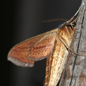 Theretra oldenlandiae at Rosedale, NSW - 14 Feb 2019
