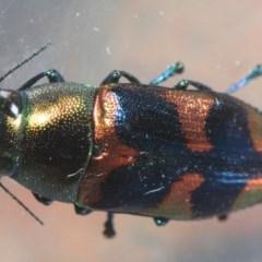 Melobasis sp. (genus) (Unidentified Melobasis jewel Beetle) at Jerrabomberra Wetlands - 15 Feb 2019 by Harrisi