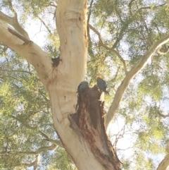 Callocephalon fimbriatum (Gang-gang Cockatoo) at Hughes Garran Woodland - 17 Feb 2019 by ruthkerruish