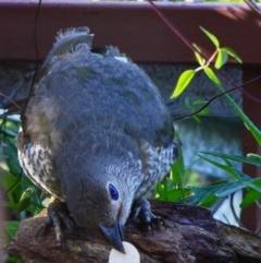 Ptilonorhynchus violaceus (Satin Bowerbird) at Greenleigh, NSW - 4 Feb 2019 by LyndalT