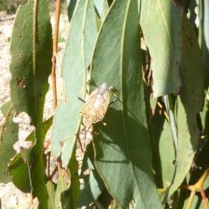Poecilometis strigatus at Sth Tablelands Ecosystem Park - 2 Oct 2017