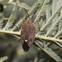 Poecilometis strigatus (Gum Tree Shield Bug) at Umbagong District Park - 17 Feb 2019 by AlisonMilton
