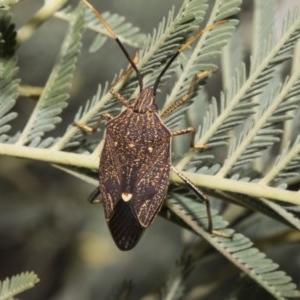 Poecilometis strigatus at Umbagong District Park - 17 Feb 2019