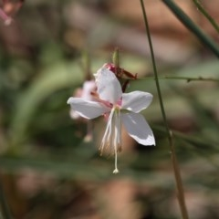 Oenothera lindheimeri (Clockweed) at Umbagong District Park - 17 Feb 2019 by AlisonMilton