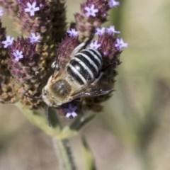 Amegilla (Zonamegilla) asserta (Blue Banded Bee) at Umbagong District Park - 17 Feb 2019 by Alison Milton