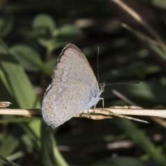 Zizina otis (Common Grass-blue) at Jerrabomberra Wetlands - 5 Feb 2019 by Alison Milton